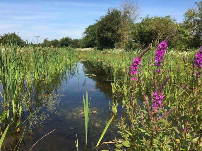 A wetland pond and flowers created by HS2.